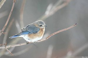 Bluebird Trails at Badger Part of National Conservation Effort