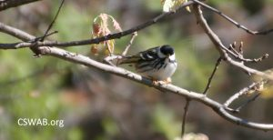 Black and white warbler male IMG_7429