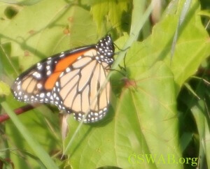 CSWAB Joins Call for Federal Protection of Monarchs
