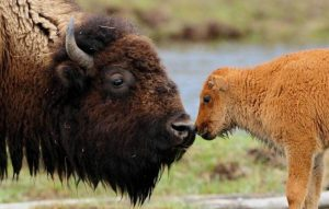 baby-bison-with-mother Pixdaus