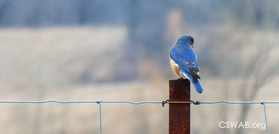 bluebird on a fence